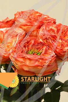 Цветы оптом starlight